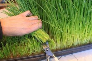 Harvesting Wheat Grass