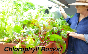 chlorophyll boosts the immune system helps the production of white blood cells hope in times of uncertainty